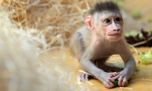 Drill monkey baby Pinto plays in the enclosure at the zoo Hellabrunn in Munich, southern Germany on July 22, 2015. The male monkey was born on June 24, 2015 at the zoo and is the third baby of 10 year-old Kaduna. AFP PHOTO / CHRISTOF STACHE