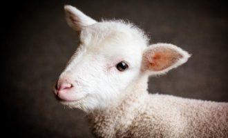 Brojna etička pitanja  : Naučnici iz Kalifornije  stvorili hibrid ovce i čovjeka