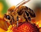 Revolucionarno otkriće : Otrov pčele ubija virus HIV-a